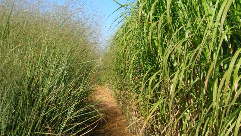 Perennial Biomass